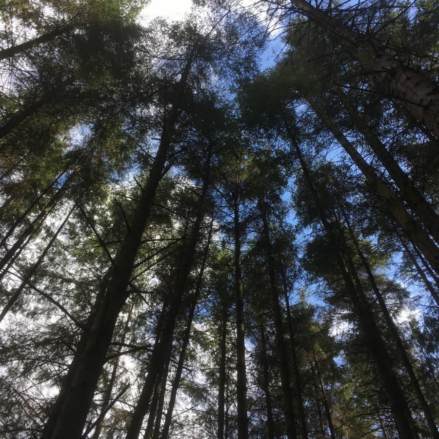 Susan Ross: Scots Pine