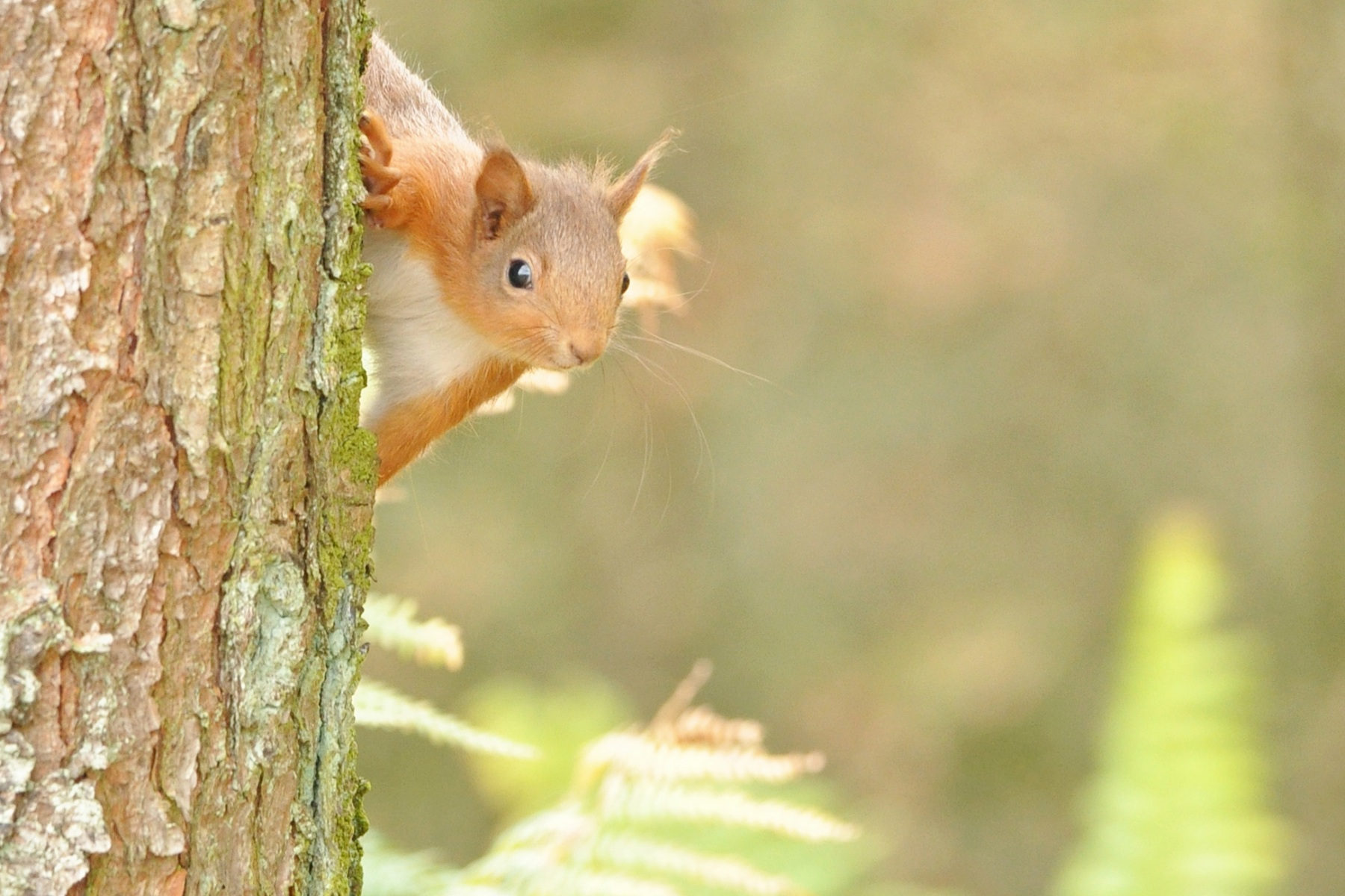 Red-Squirrel-1-R.-Trevis-Smith