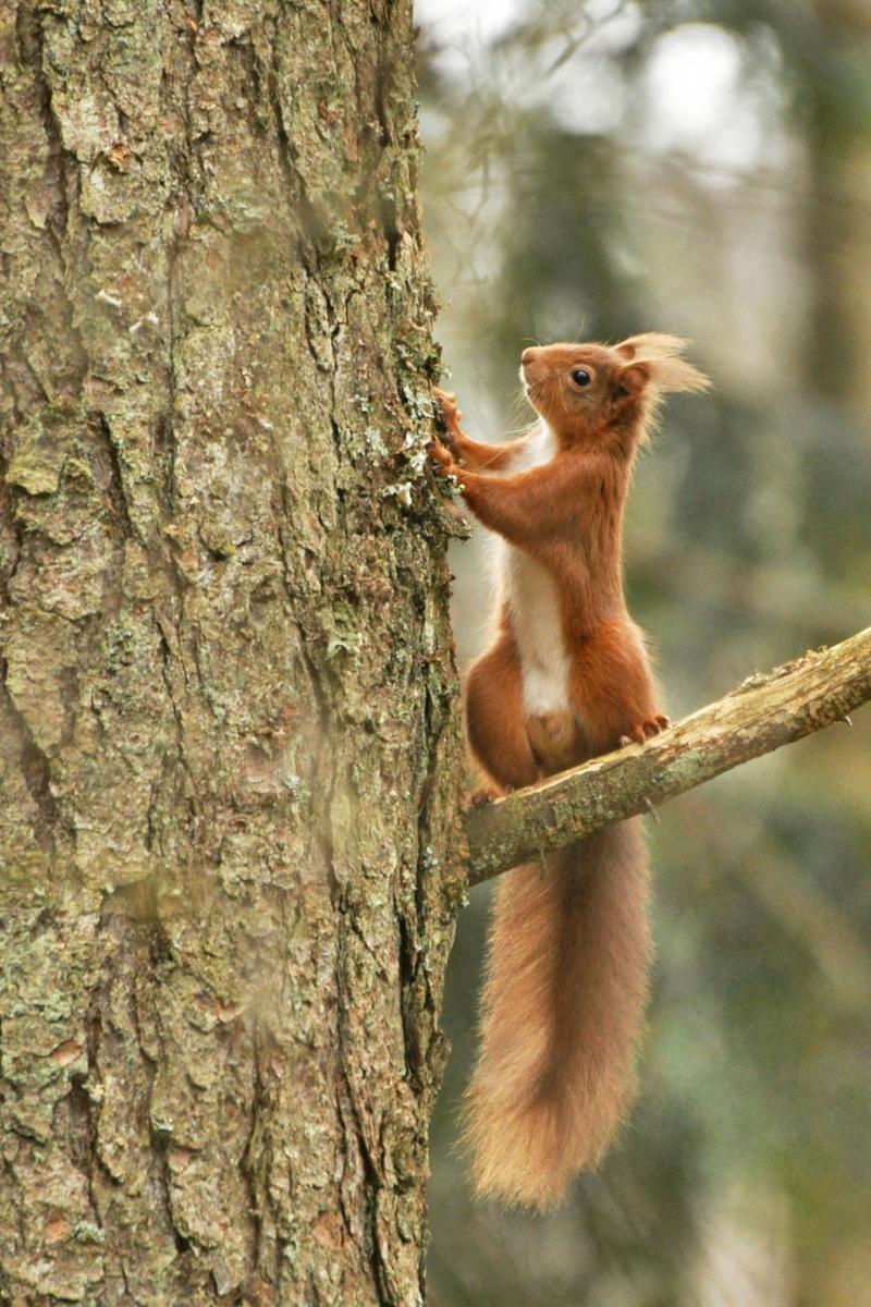 Red-Squirrel-3-R.-Trevis-Smith