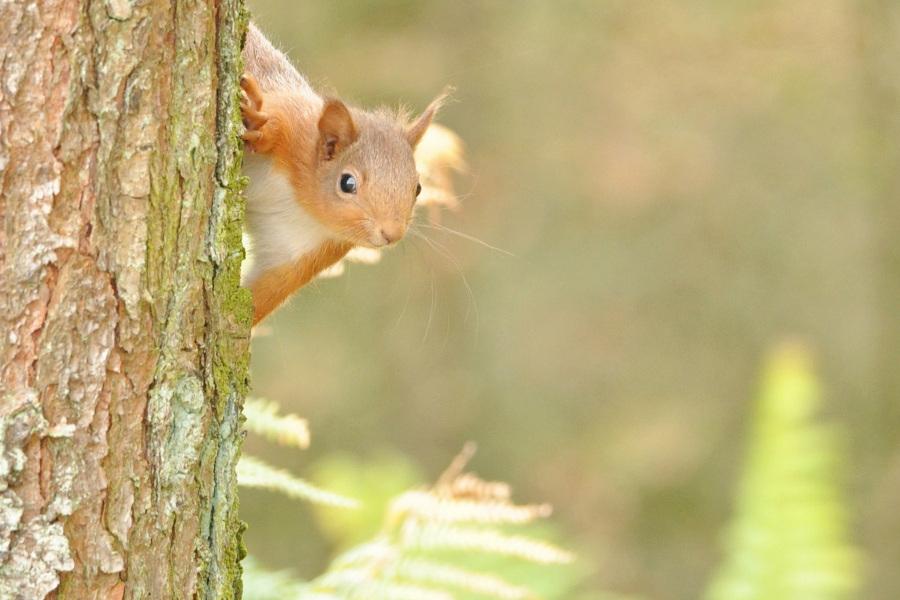 Red-Squirrel-1-R.-Trevis-Smith