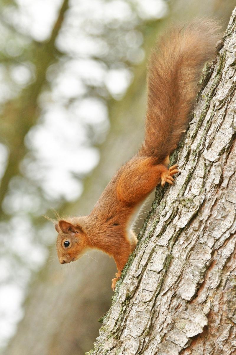 Red-Squirrel-2-R.-Trevis-Smith