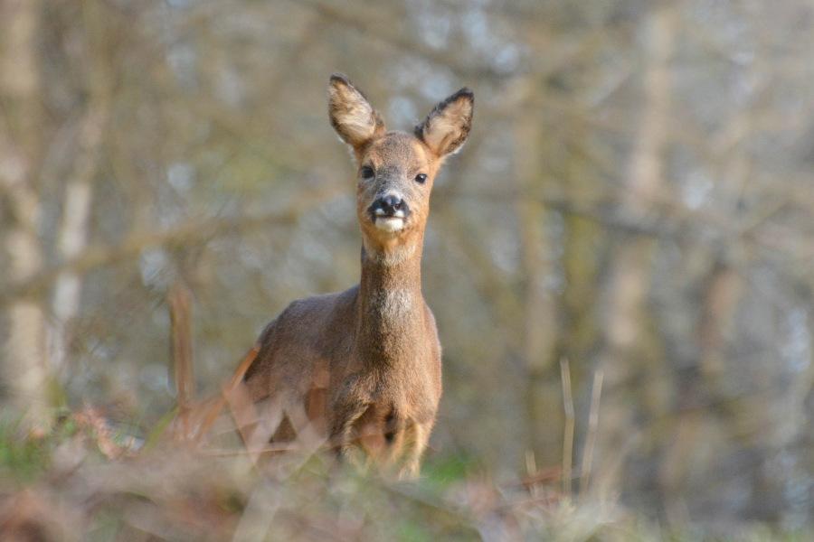 Roe-Deer-R.Trevis-Smith