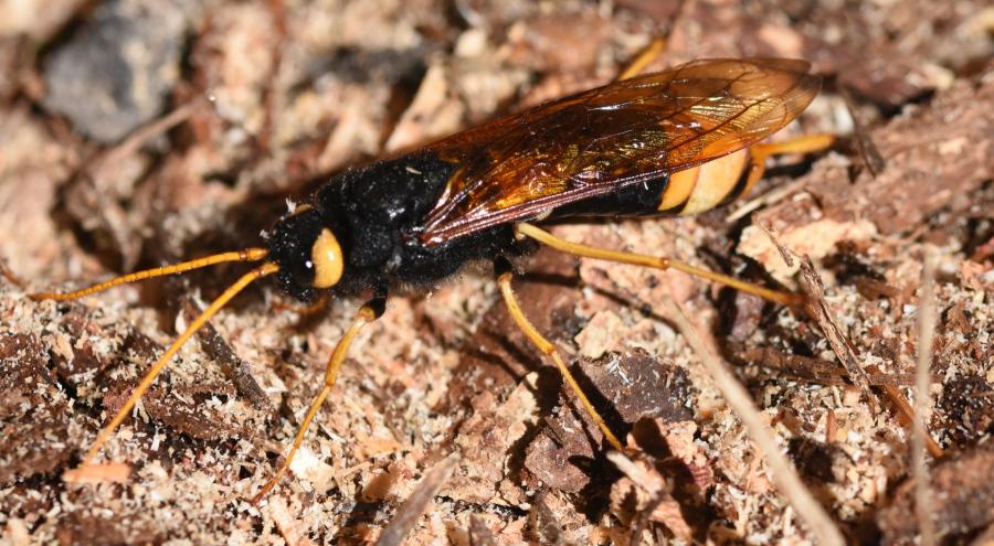 Wood-wasp