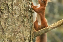 Red-Squirrel-3-R.-Trevis-Smith