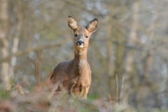 Roe-Deer-R.Trevis-Smith