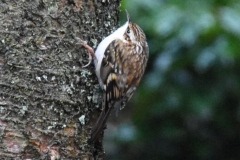 Tree-creeper